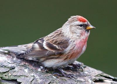 Female Lesser Redpoll