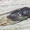 Swamp Cicada Neotibicen tibicen