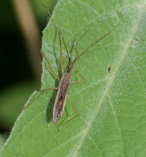 Leafhopper Assassin Bug Zelus renardii