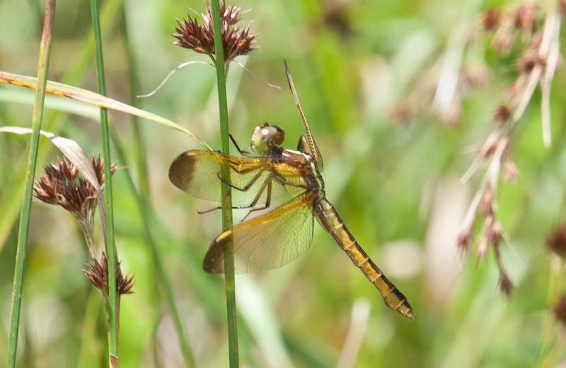 Yellow-sided Skimmer (Libellula flavida)