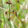 Yellow-sided Skimmer (Libellula flavida)