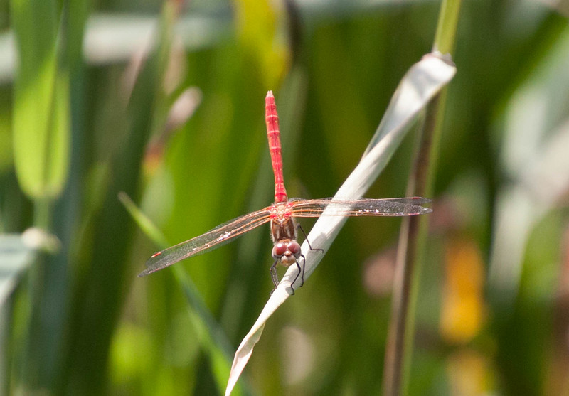 Striped Meadowhawk Sympetrum pallipes