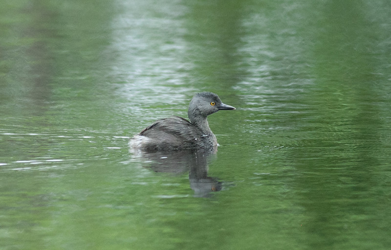 Least Grebe   (Smith County, Texas)