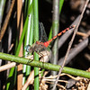 Blue-Faced Meadowhawk (Sympetrum ambiguum)