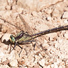 Black-shouldered Spinyleg Dromogomphus spinosus