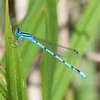 Atlantic Bluet (Enallagma doubledayi)