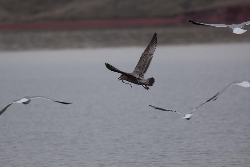 Thayer's Gull (Fist Fall)