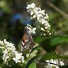 Snout Butterfly