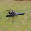 Blue Corporal  (Ladona deplanata)