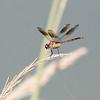 Juvenile Female Four Spotted Pennant  (Brachymesia gravida)