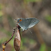 Gray Hairstreak Strymon melinus
