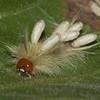 Sycamore Tussock Moth (Halysidota harrisii)