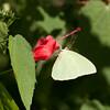 Lyside Sulphur Kricogonia lyside