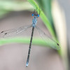 Spotted Spreadwing Lestes congener