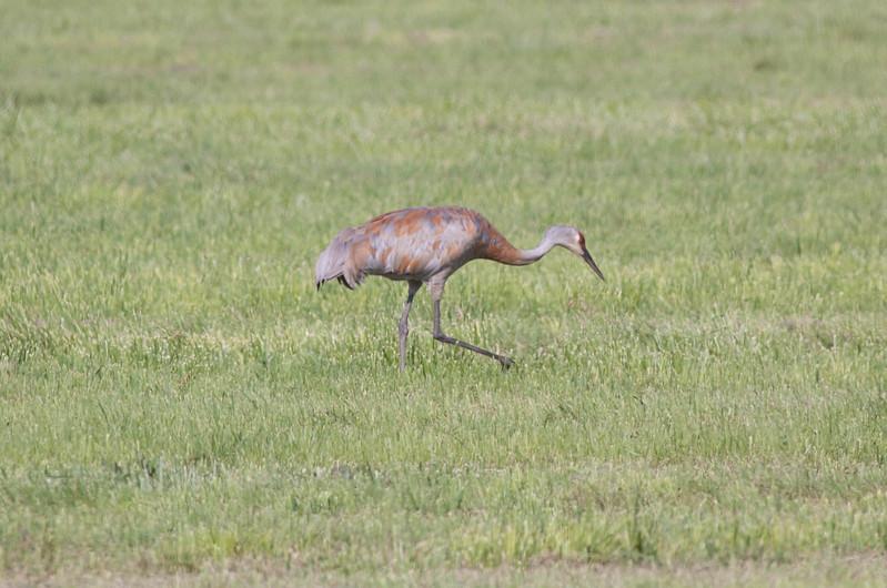 Sandhill Crane Antigone canadensis