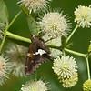 Silver Spotted Skipper (Epargyreus clarus)