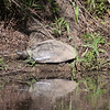 Palid Spiny Softshell Turtle