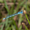 Atlantic Bluet Enallagma doubledayi