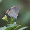 Northern Hairstreak