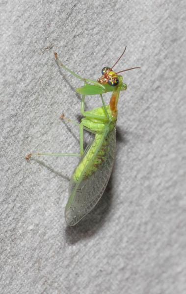 Green Mantidfly Zeugomantispa minuta