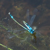 Azure Bluet Enallagama aspersum