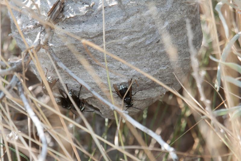 Bald-faced Hornet Dolichovespula maculata