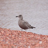 Thayer's Gull  ( First Year)
