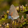 Dusky Blue Hairstreak