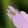 Flower Crab Spiders Genus Misumena