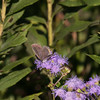 Gray Hairstreak (Open Wing)