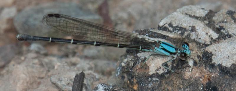 Blue-tipped Dancer Argia tibialis