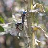 Blue-eyed Darner Rhionaeschna multicolor