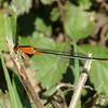Juvenile Female Rambur's Forktail   ( Ischnura ramburii )