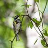 Yellow-rump Warbler