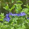 Blue Waterleaf