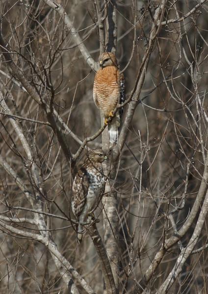 Red Shoulder Hawks
