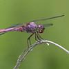 Roseate Skimmer Orthemis ferruginea