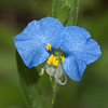Whitemouth dayflower Commelina erecta