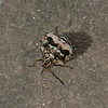 Spined Soldier Bug (Podisus maculiventris