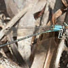 Blue-tipped Dancer Argia tibialis