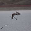 Thayer's Gull (Fist Fall)