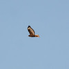 Western Red-tailed Hawk  ( Dark Morph )