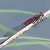 American Rubyspot Hetaerina americana