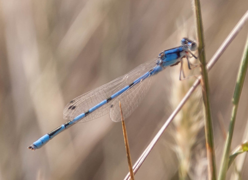 Familiar Bluet ( Enallagma civile)