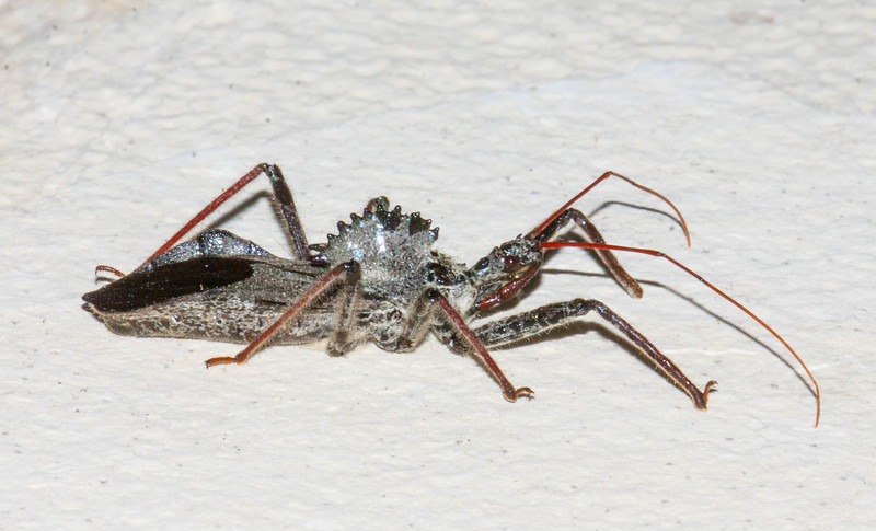 Wheel Bug Arilus cristatus