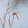 Golden-winged Skimmer Libellula auripennis