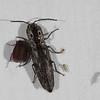 Texas Eyed Click Beetle   (Alaus lusciosus)