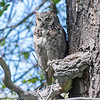 Great Horned Owl      Sheridan, Wyoming