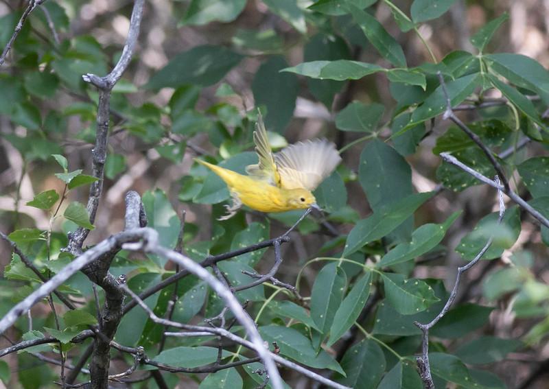 Yellow Warbler Setophaga petechia