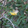 Yellow Warbler Setophaga petechia